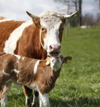 Tierpatenschaft Rind (ProSpecieRara)