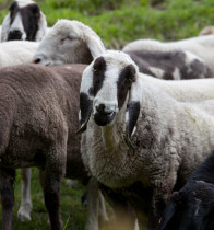Tierpatenschaft Schaf (ProSpecieRara)