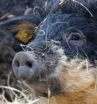 Tierpatenschaft Wollschwein (ProSpecieRara)